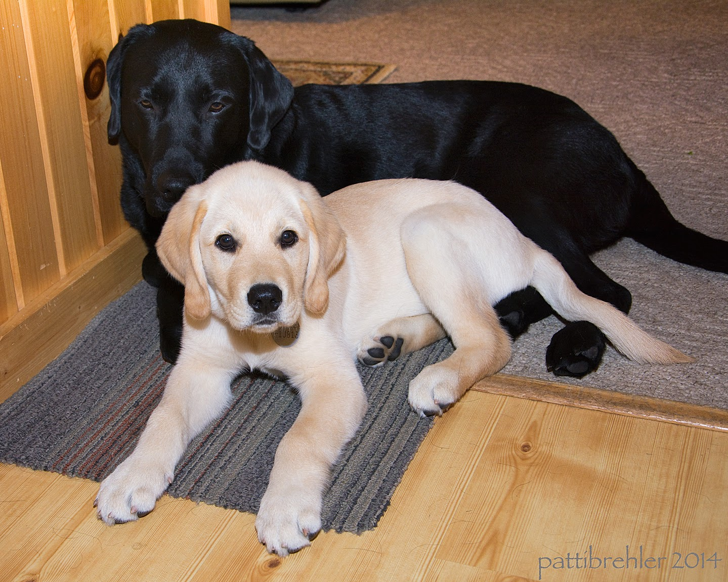 A large black lab is lying half on a carpeted floor and half on a carpet mat, facing the camera. Lying in front of the lab is a small yellow lab/golden retriever mix puppy, also facing the camera. The yellow puppy is snuggled up against the larger dog.