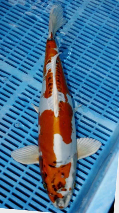Long road to create kin kikokuryu koi fish koi fish care for Koi fish care