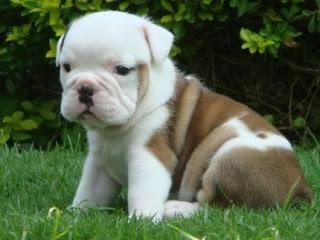 Bulldog Cachorros, parte 2