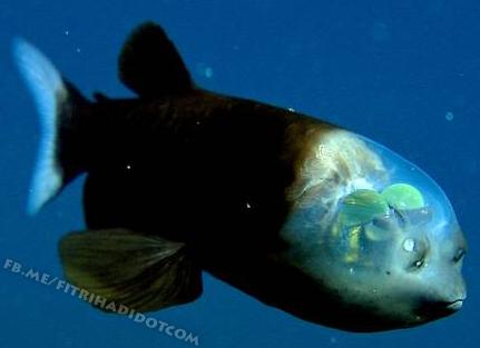 gambar ikan pacific barreleye fish kepala lutsinar
