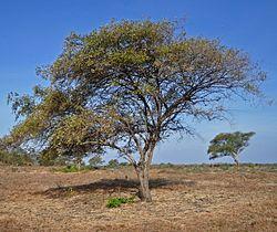 Pohon bidara - jual bibit pohon bidara
