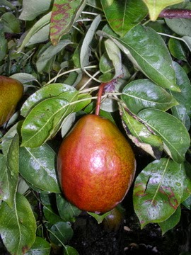 Black Worcester pear