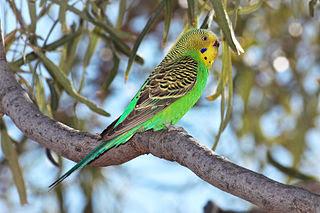 burung Budgerigar