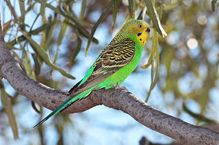 Foto burung Budgerigar