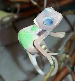 Translucent Veiled Chameleon