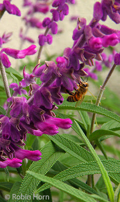 Honeybee on Mexican Sage