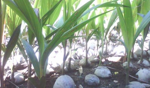 Syarat Tumbuh Tanaman Kelapa