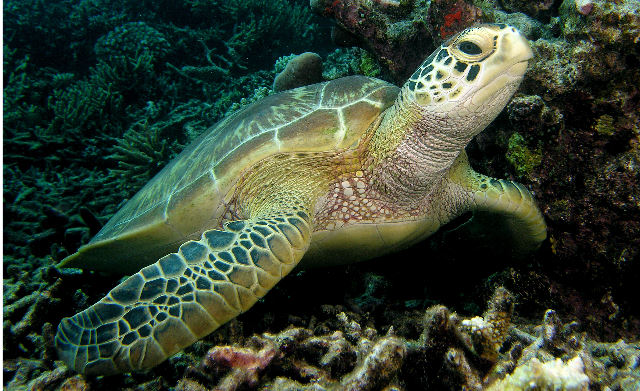 the green sea turtle draft Sea turtles diet & eating habits food preferences and resources green sea turtles have finely serrated jaws adapted for a vegetarian diet of sea grasses and algae.