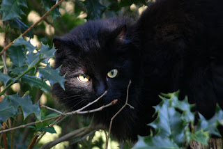 Black cat outdoors in holly bush