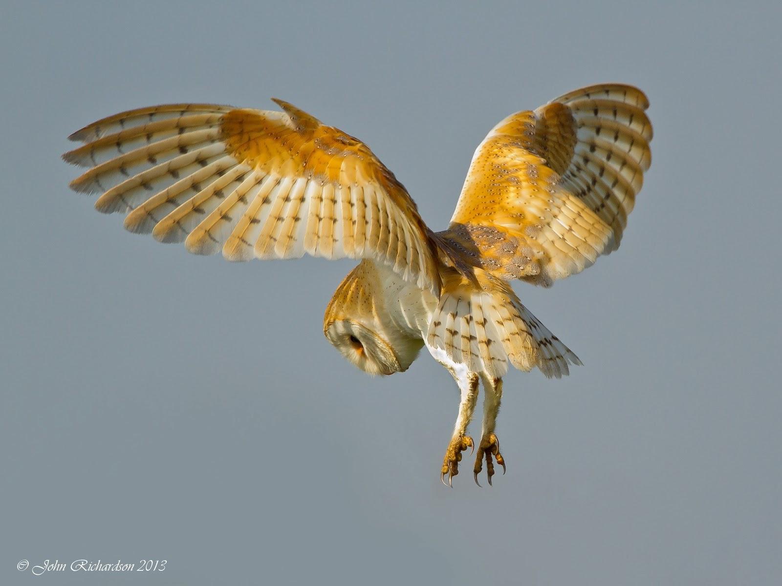 Barn owl catching prey