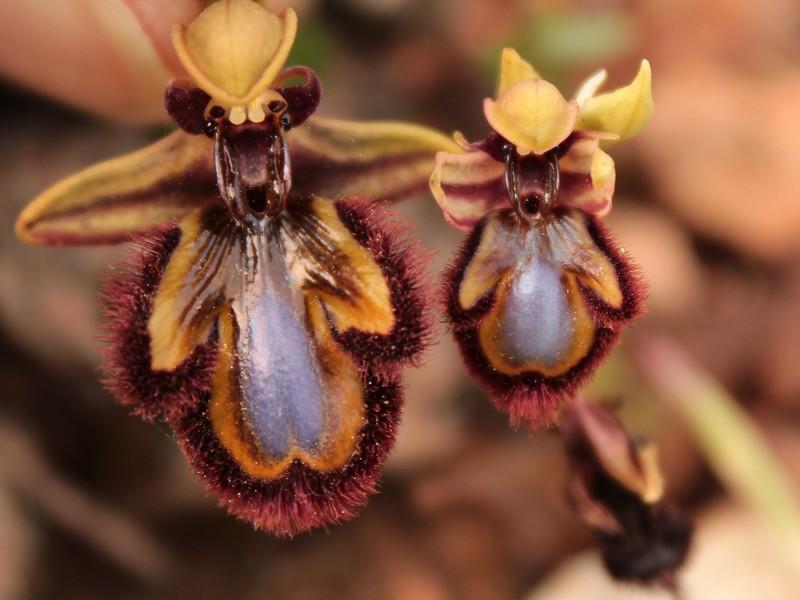 O.speculum subsp. picta 433spe-p