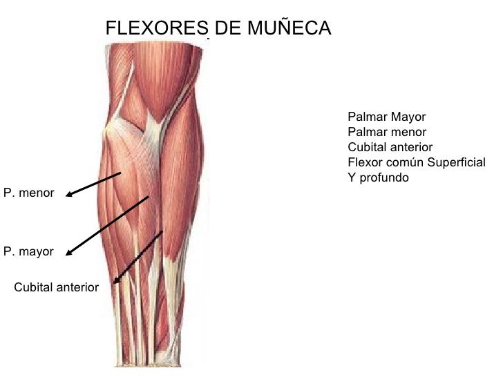 Deporte, Ocio y Precision: musculos implicado en el tiro de ...
