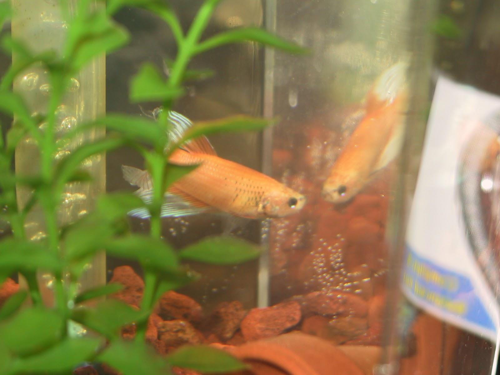 Loneguppy 39 s showcase the new betta for Betta fish water change