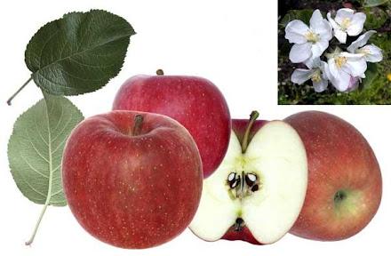 bodur elma fidanları........