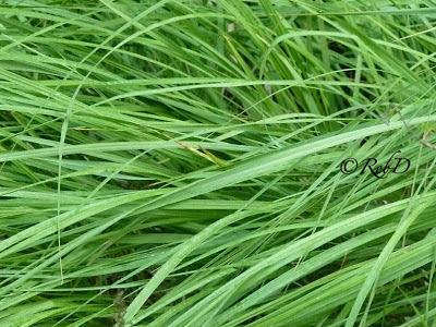 grässtrån. foto: Reb Dutius