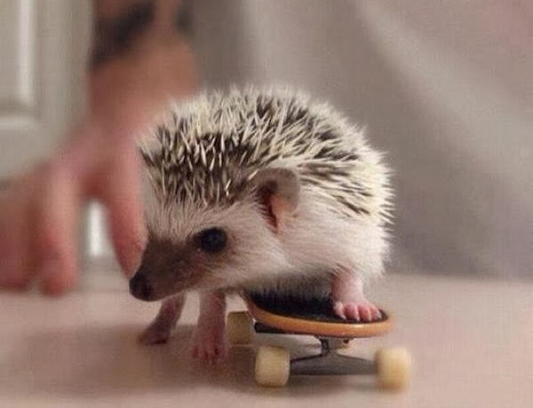 Funny animals of the week - 27 December 2013 (40 pics), hedgehog playing skateboard