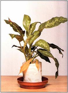 Поставьте растение в теплое место вдали от прямых солнечных лучей, обернув вокруг корней побольше фильтровальной бумаги