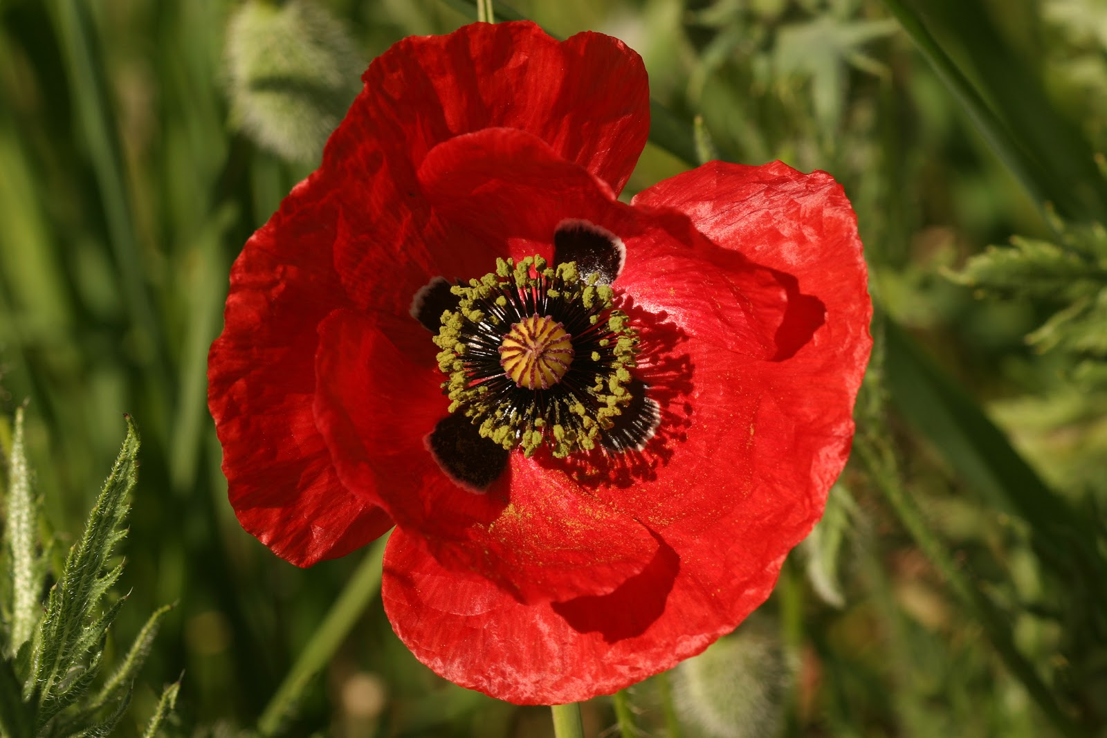 im genes de flores y plantas amapola