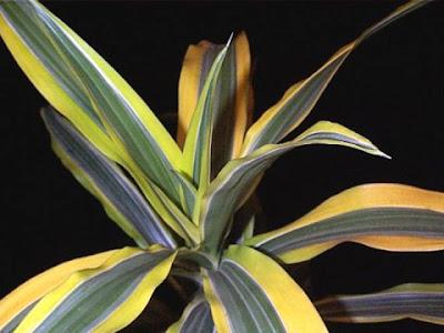 4 Dracaena %Category Photo