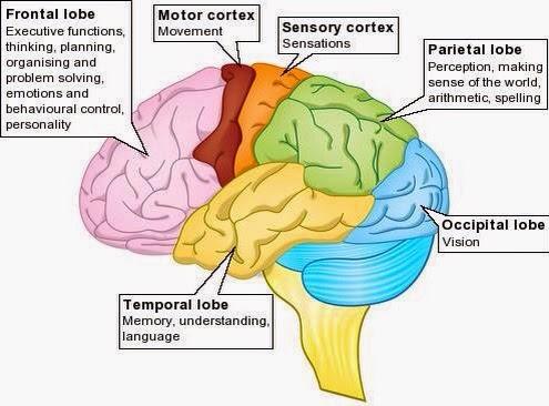 hersenen anatomie oefenen