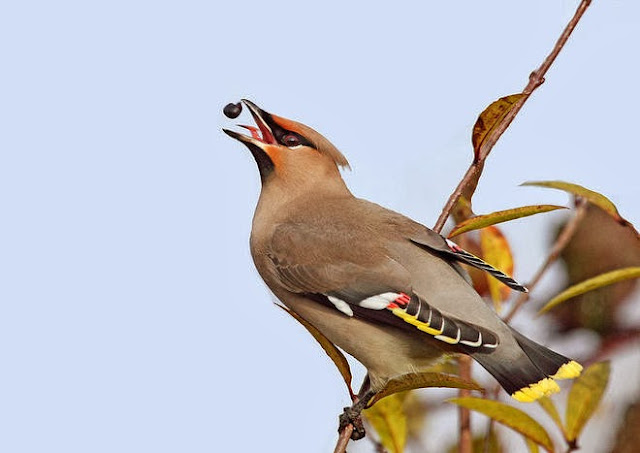http://funkidos.com/pictures-world/wild-life/waxwings-are-wild