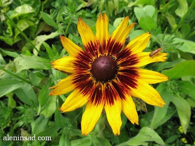 Рудбекия гибридная, Rudbeckia, аленин сад, цветы, июль
