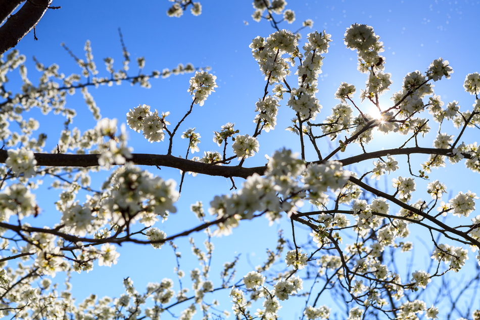 abres fruitiers en fleur au printemps avec la montagne recouverte de neige en arrière plan - photograhe savoie