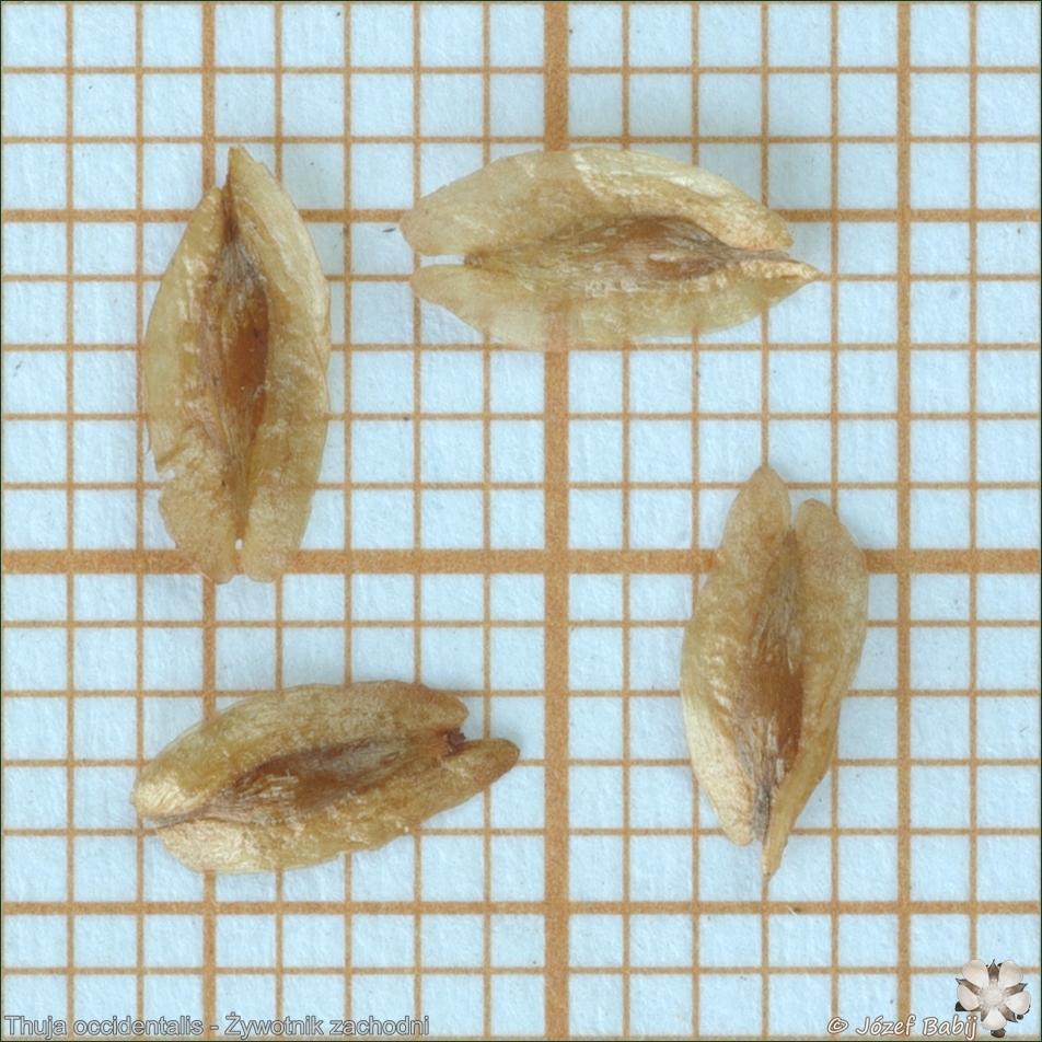 Thuja occidentalis seeds - Żywotnik zachodni nasiona