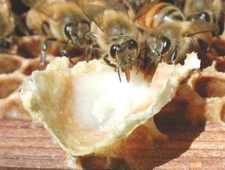 sữa ong chúa tăng quá trình trao đổi chất