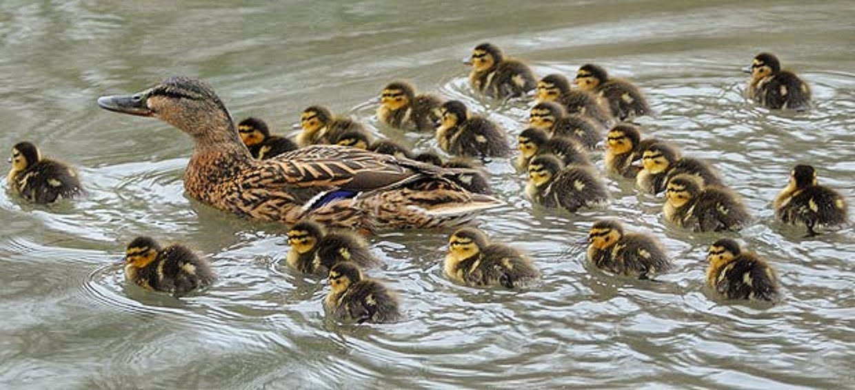 how to catch a mother duck and babies