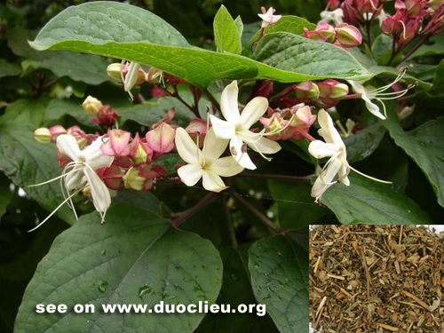 Clerodendron trichotomum Thunb.