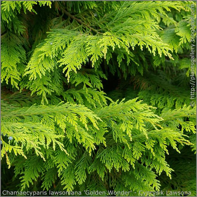 Chamaecyparis lawsoniana 'Golden Wonder' - Cyprysik Lawsona 'Golden Wonder' ulistnienie