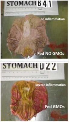 Veja o que um alimento transgênico faz com um organismo