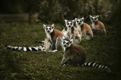 Lemures de Madagascar - Miradas que hipnotizan