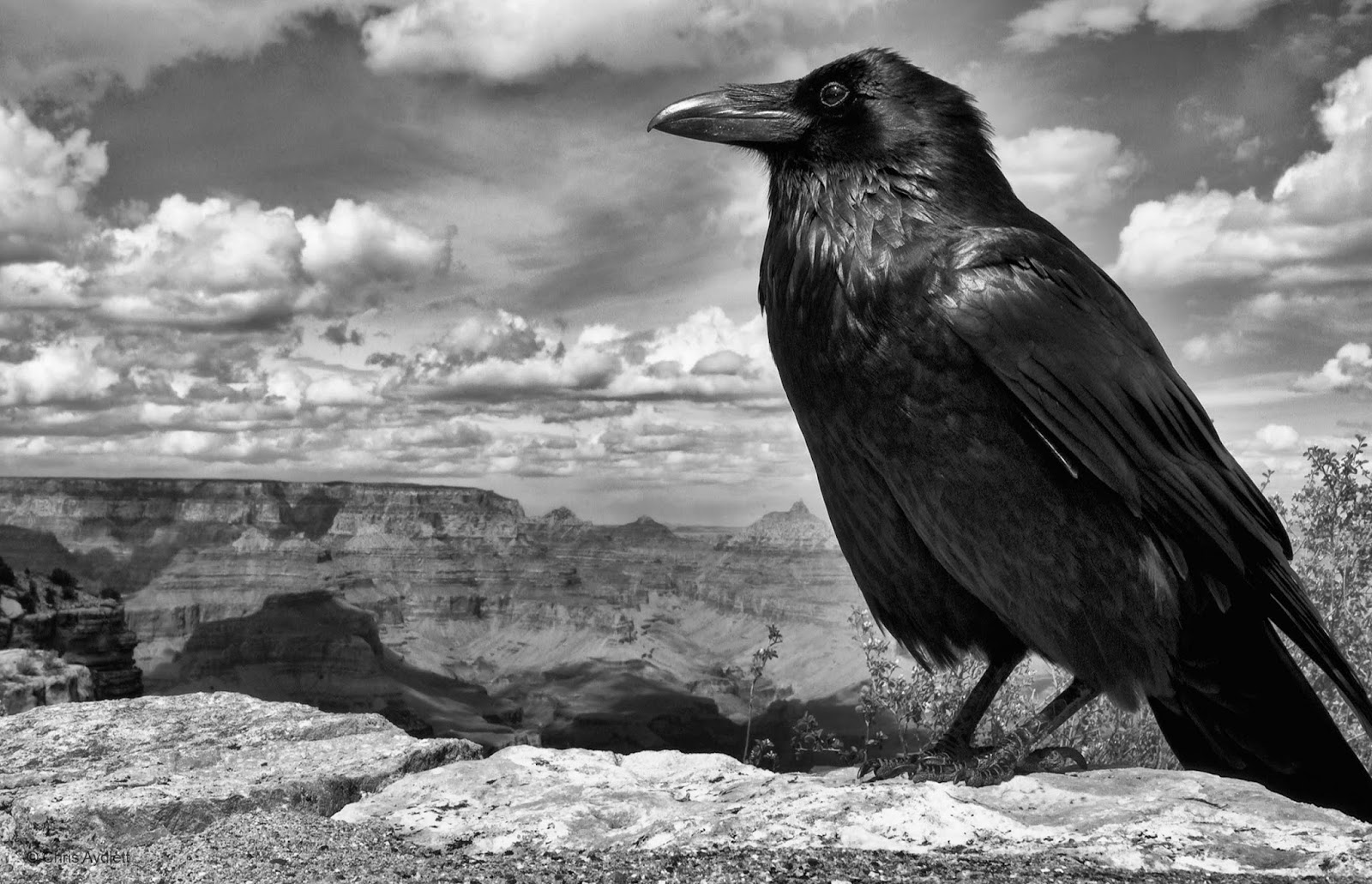 white wolf 10 fascinating facts about ravens