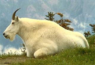 Beautiful Goats Pictures