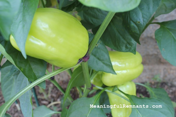 peppers close up