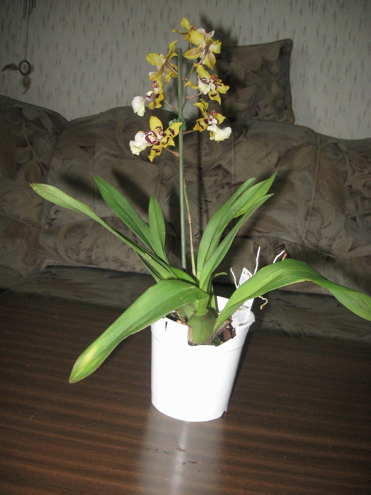 Cambria orchid- общий вид