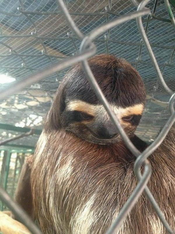 Funny animals of the week - 22 November 2013 (35 pics), sloth with funny face