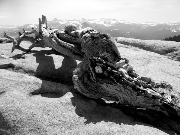 ansel adams pine tree - photo #6
