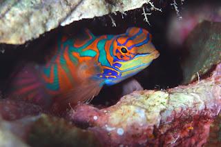 mandarin fish 2