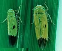 gambar hama kepik hijau yang menyerang padi