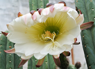 San Pedro cactus (Trichocereus pachanoi) flower close-up