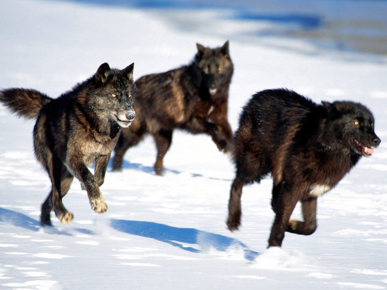 black wolf pack