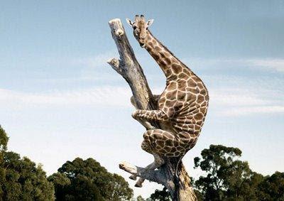 Funny Giraffe Climbing Tree