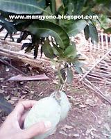 Mangga Mang Yono