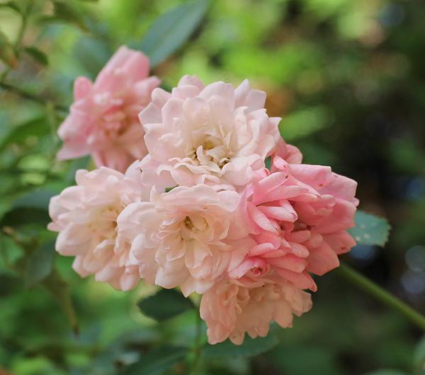 rosal The Fairy