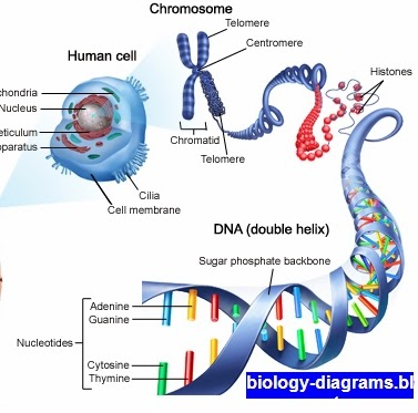 Biology Diagramsimagespictures Of Human Anatomy And Physiology
