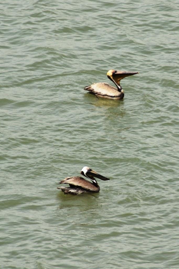 Gatun Lake Panama pelicans