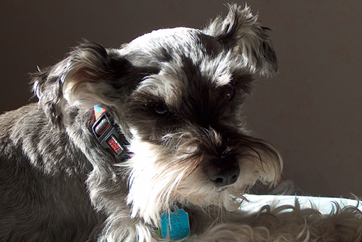Have a miniature schnauzer know about sick sinus syndrome Can a dog tell if another dog is sick
